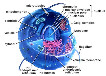 ribosomes a cell diagram chaper3 a cell wall diagram