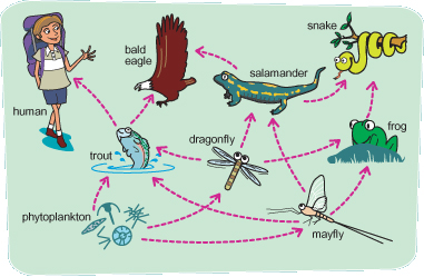 Chapter 3 – NCSU Department of Applied Ecology  Crappie Lake Food Chain